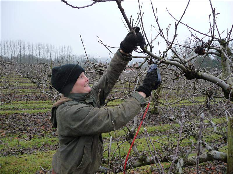 Apple pruning